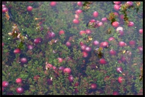 The beds are lightly flooded to bring the cranberries to the surface.
