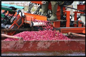 Picker and cranberry boat