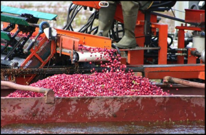 A mechanical picker is then used to gently release the berries from the vines and place them into boats.